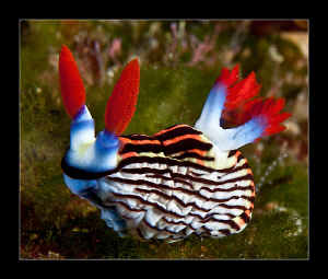 Nembrotha Aurea by Charles Wright 